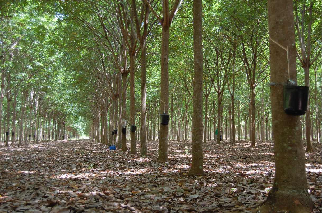 silvicultura -prática traz retorno ambiental e financeiro